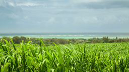 Sugar cane fields with sea side in the background Footage