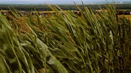 windy cornfield in german rural area Footage