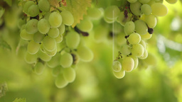 fresh bunches of green grapes in the rain Footage