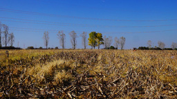 Autumn, farm field with corn stalks, tractor plowing Footage