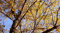 Tree with rustling leaves in the Autumn Sun with wind. Rotation, sound Footage