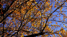 Top of Tree, rustling leaves in the Autumn with wind.Sound Footage
