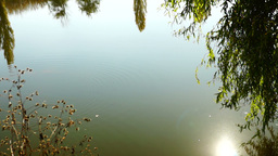 Lake landscape with willow, lens flare and trees mirrored in water Footage