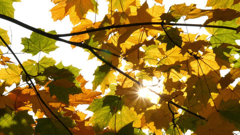 sun shining through autumn maple leaves HQ slow motion 11744 Footage