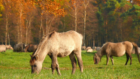 young wild horses grazing in autumn 11745 Footage