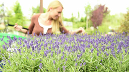 Lavenders In Plant Nursery With Choosing Customer stock footage