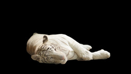 white tiger lying on its side on a black background Live Action