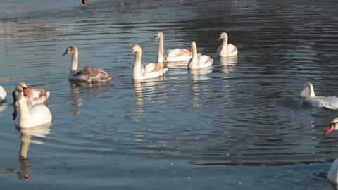 Pack of white swans floats in the river in the winter Footage