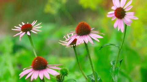 Echinacea Flowers In Rain stock footage