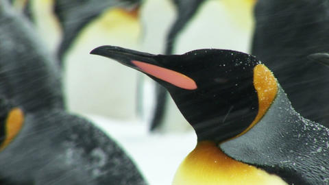 South Georgia: king penguin 1 Stock Video Footage