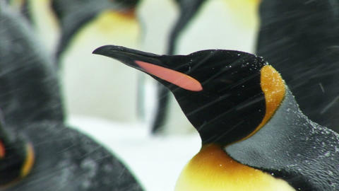 South Georgia: king penguin 1 Stock Video Footage