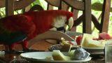 Brazil: Scarlet Macaw parrot Footage