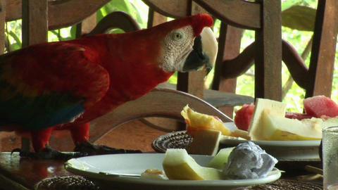 Brazil: Scarlet Macaw parrot Stock Video Footage