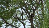 Brazil: monkey running on a trees in Amazon 1 Footage