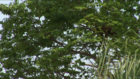 Brazil: monkey running on a trees in Amazon 1 Stock Video Footage