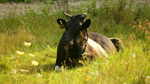 Cow 1 Stock Video Footage