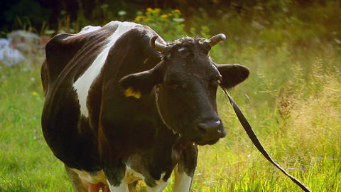 Cow 3 Stock Video Footage