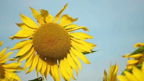 Sunflowers 2 Stock Video Footage