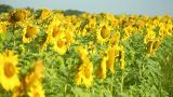 Sunflowers 4 Footage