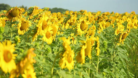 Sunflowers 4 Stock Video Footage
