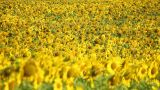Sunflowers 6 Stock Video Footage