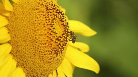 Sunflowers 8 Stock Video Footage