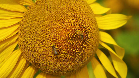 Sunflowers 10 Stock Video Footage