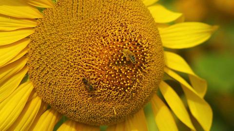 Sunflowers 10 Stock Video Footage
