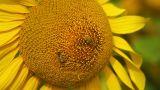 Sunflowers 10 Footage