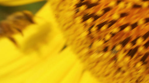 Sunflowers 12 Stock Video Footage