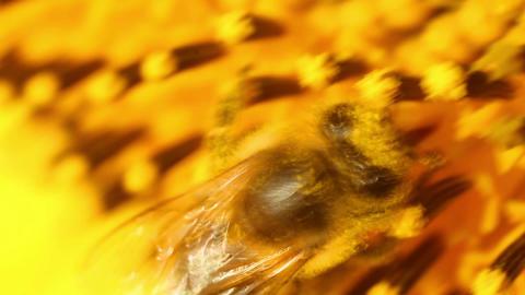 Sunflowers 16 Stock Video Footage
