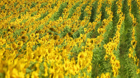 Sunflowers 18 Stock Video Footage