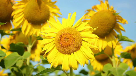 Sunflowers 20 Stock Video Footage