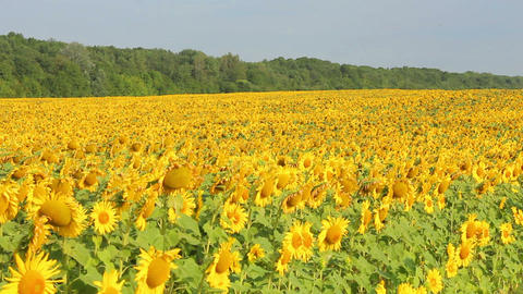 Sunflowers 22 Stock Video Footage