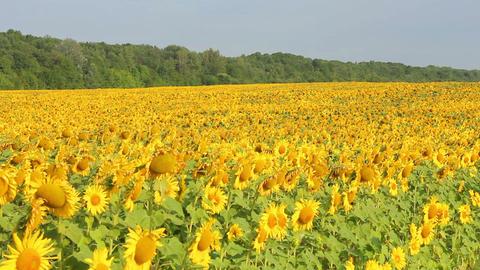 Sunflowers 22 Stock Video Footage