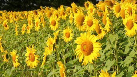 Sunflowers 24 Stock Video Footage