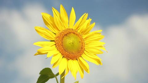 Sunflowers 26 Stock Video Footage
