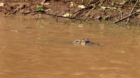 Brazil: Amazon river region fauna - crocodile 8 Stock Video Footage