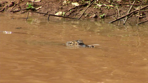 Brazil: Amazon river region fauna - crocodile 8 Stock Video Footage