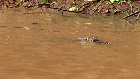 Brazil: Amazon river region fauna - crocodile 8 Live Action