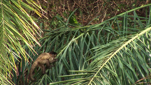 Brazil: monkey baby climbing on a trees in Amazon 1 Stock Video Footage