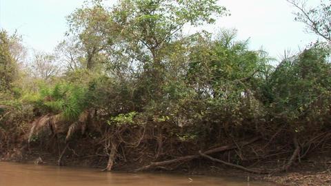Brazil: monkeys running on a trees in Amazon 1 Stock Video Footage