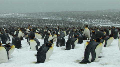 South Georgia: king penguin crowd 12 Stock Video Footage