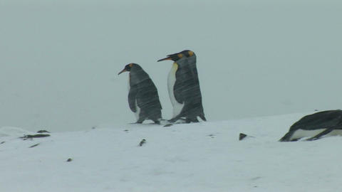 South Georgia: king penguin 3 Stock Video Footage