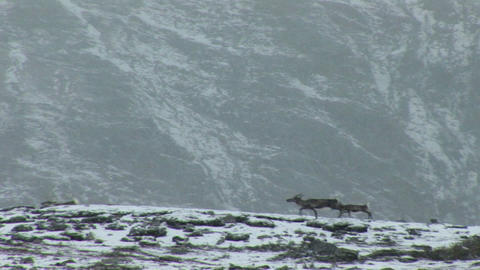 South Georgia: reindeers in a snow 1 Stock Video Footage