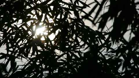 wind shaking bamboo silhouette,quiet atmosphere in sunshine Footage