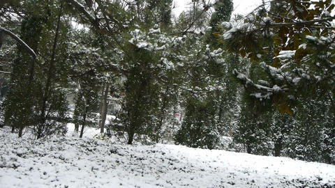 Snow falling from pine trees,cover grass Stock Video Footage