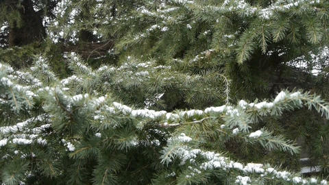 Snow cover pine trees Footage