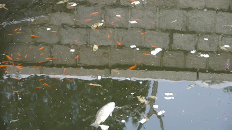 fish in dirty water,pollute environment,reflection Stock Video Footage