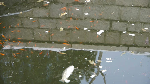 fish in dirty water,pollute environment,reflection Live Action